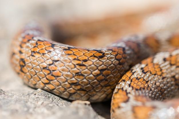 성인 표범 뱀의 비늘 클로즈업 샷