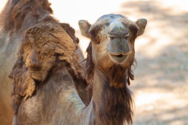 砂漠の野生のラクダのクローズアップショット