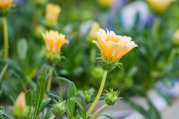 그들의 만개에서 노란색 꽃의 총을 닫습니다