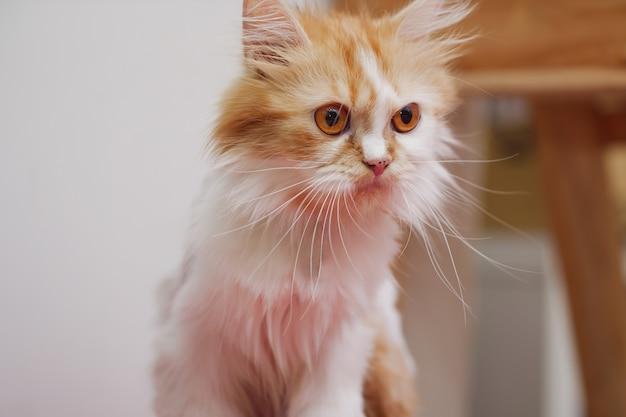 Close-up shot persian kitten sitting and look