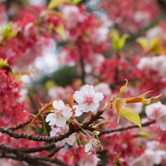 Close up shot of sakura flowers, cherry blossom in early spring with shallow depth of field