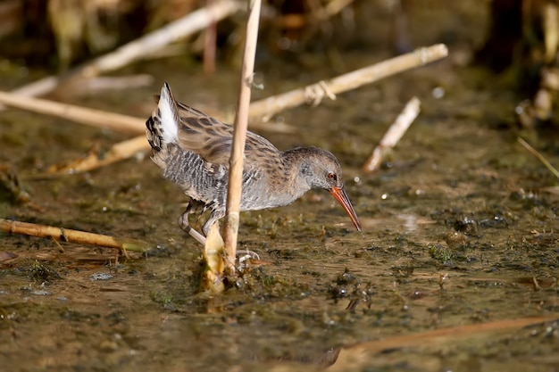 Close-up shot of the water rail (rallus aquaticus) in winter plumage while hunting on the water