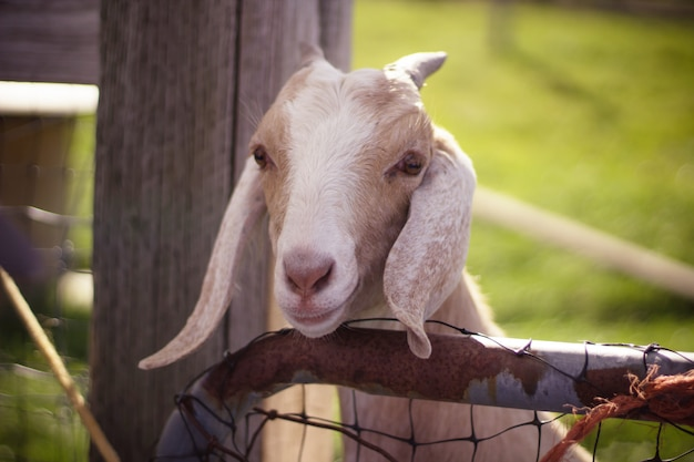 Close up shot of a white and brown goat with long ears and horns with the head over wooden fence