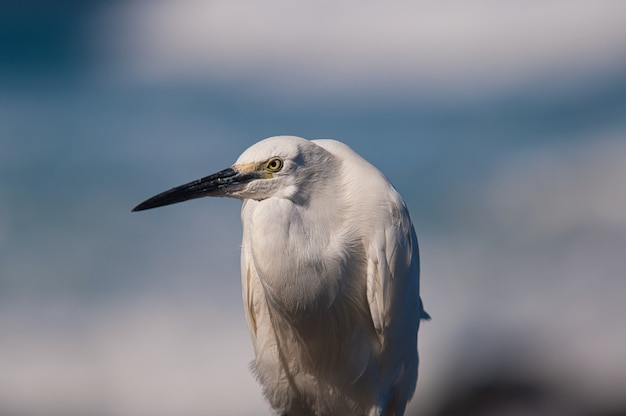 Close up shot of a white little egret a with a blurry blue  background