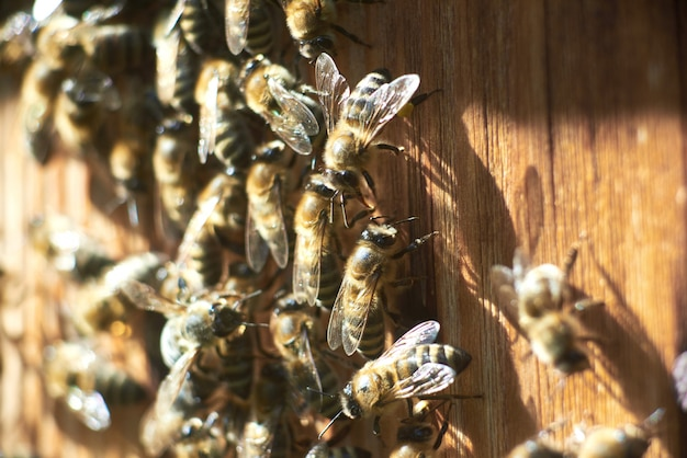 Close up shot of working honey bees at the apiary beehive.