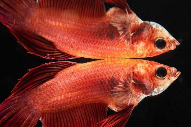 Close-up siamese fighting betta fish mirrored