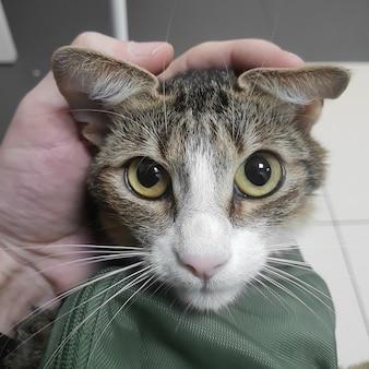外科医の手でクローズアップ。病気の猫。専門の獣医ケア