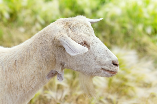 Close up of side view of white goat on blurred grass background. selective focus.