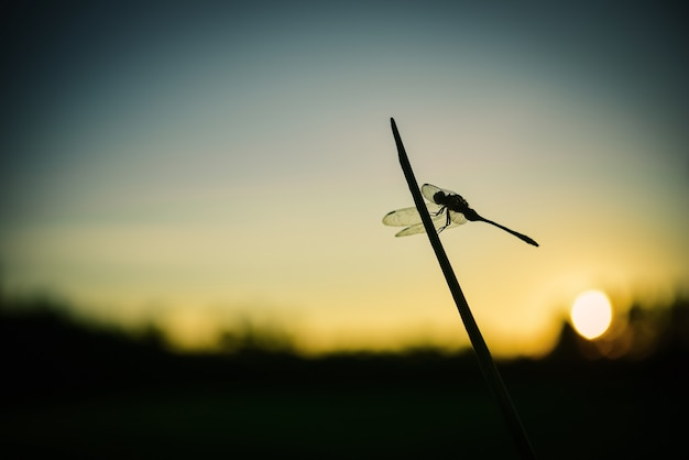 Close up silhouette dragonfly on grass.