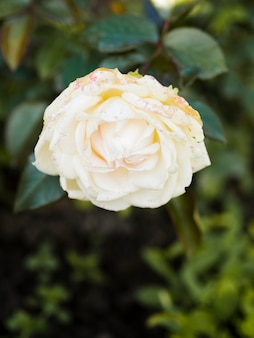 Close up of simple white rose