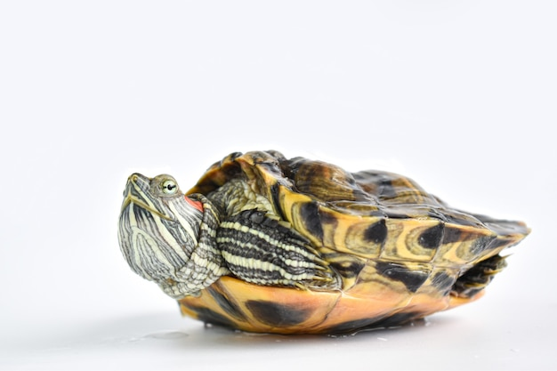 Close-up of a single red-eared turtle on a white surface
