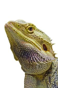 닫기 피부 얼굴 도마뱀이나 이구아나 동물은 애완 동물로 입양되었으며 비어디드 드래곤의 측면 머리는 흰색 배경에 고립 된 파충류입니다