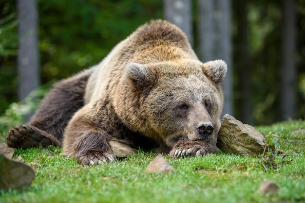 Портрет бурого медведя сна крупным планом. опасное животное в природе обитания. большое млекопитающее. сцена дикой природы