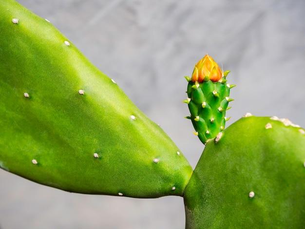 Крупным планом маленькие красивые растущие красные бутоны цветка кактуса на зеленом кактусе на серой бетонной стене.