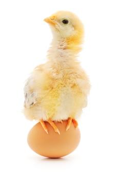 Close up small chicken in studio
