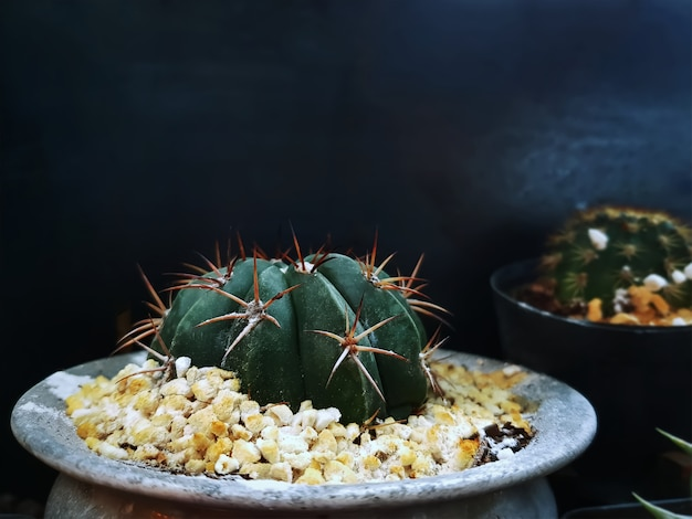 Close-up small decorative spiky cactus in pot with gravel stones
