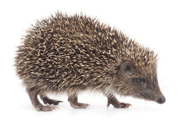 Close up small hedgehog in studio