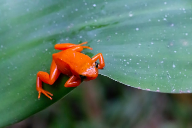 Close up on small orange frog on a green leaf