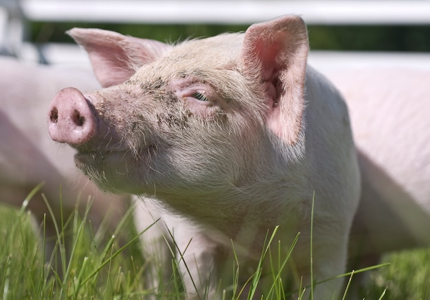Close up of a small pig