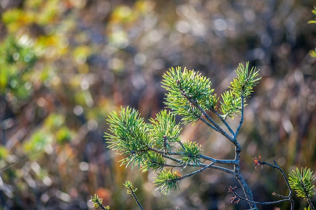 Close-up of small pine.