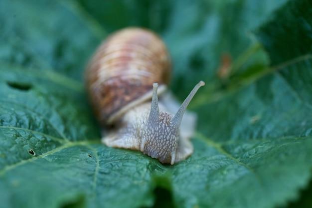 Закройте маленькую улитку на зеленом листе в саду