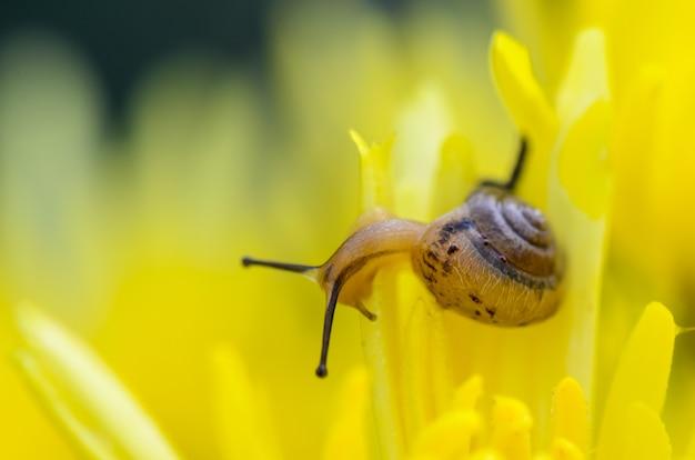 Крупным планом улитка, питающаяся желтыми цветами хризантемы среди утренней росы