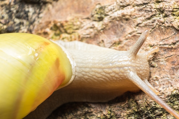 Close up of snail on white rock, crawling slowly, reptile in the rainforest southeast asia