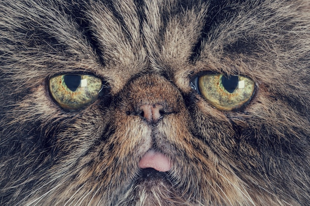 Close-up of the snout of a gray persian cat