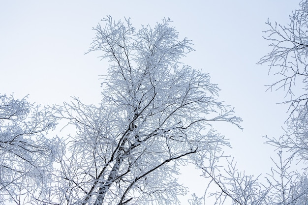 Close up of a snow-covered top of a birch under a snowfall on a background