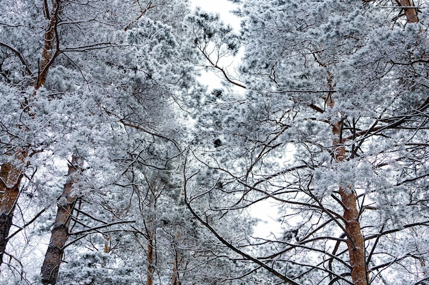 Close up of of snow-covered tops of fir trees under snowfall against the background of a white frosty forest