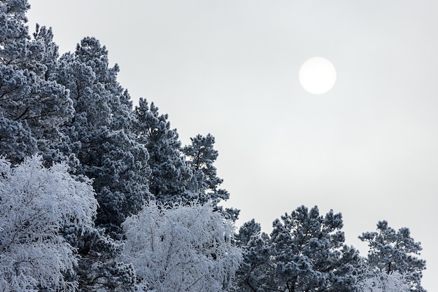 Close up of snow-covered tops of fir trees under snowfall against the background of a white frosty forest