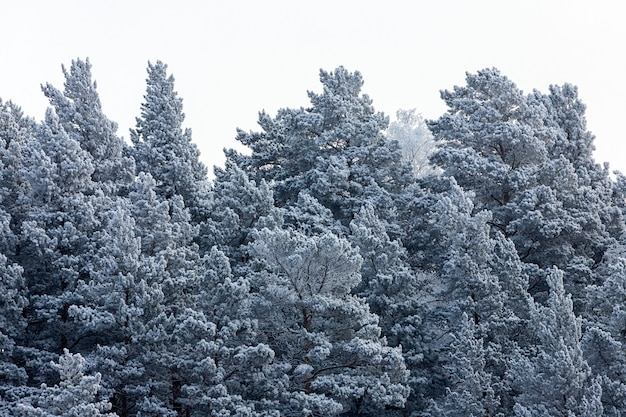 Close up of  of snow-covered tops of fir trees under snowfall against the background
