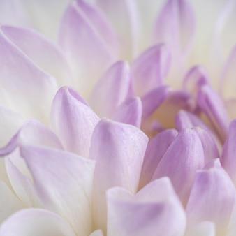 クローズアップの柔らかい紫色の花びら