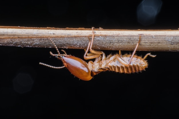 Close up soldier termite on branch