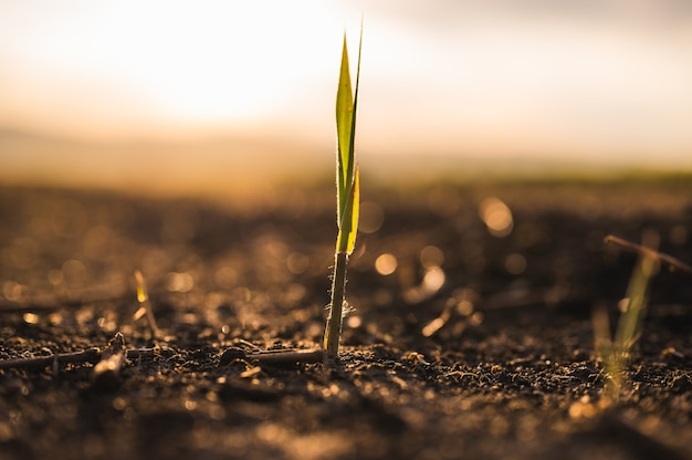 Close-up of solitary sprout on dry ground in warm light behind a setting sun