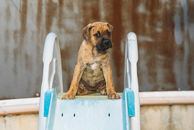 Close-up of a spanish alano puppy sitting on the diving board of a swimming pool