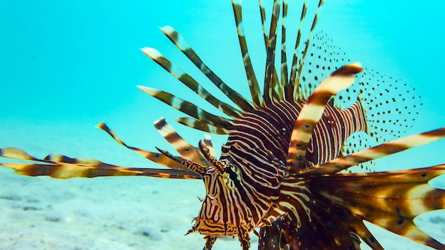 Close-up of a spotfin lionfish (pterois antennata), maldives.