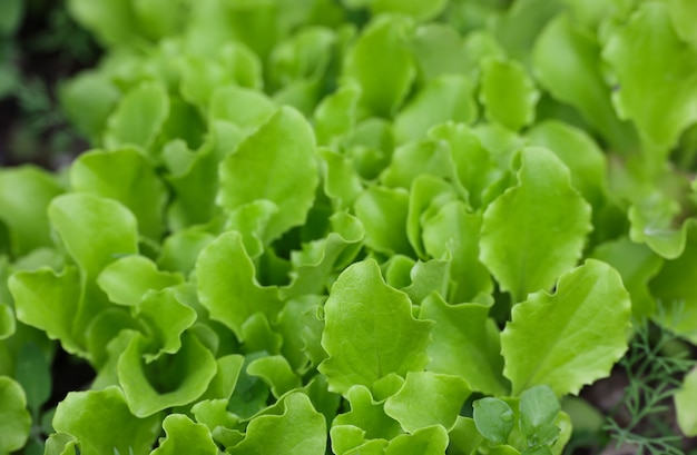 채소 정원 침대에서 자라는 신선한 녹색 상추 잎을 클로즈업