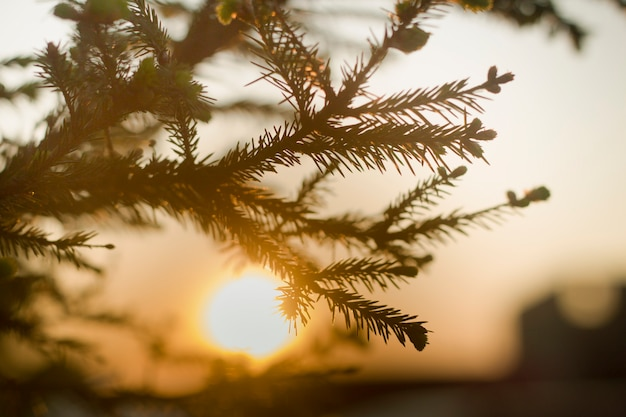 Close-up of spruce tree brunch with big dark green needles on blurred colorful background at sunset. beauty of nature concept.