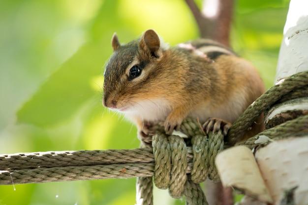 Close-up of a squirrel (sciurus carolinensis), lake of the woods, ontario, canada