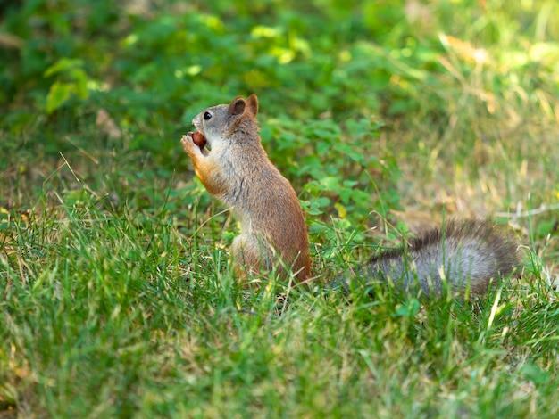 Крупный план - белка сидит на зеленой траве и держит во рту орех.
