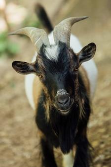 Крупный план постоянного фермы козла в конюшне
