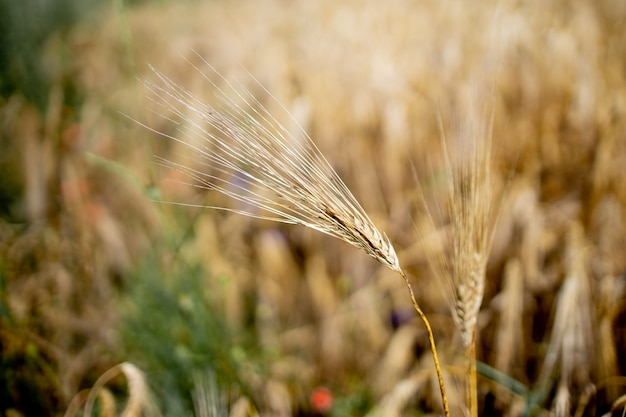 Close up of stems of gold and ripe rye