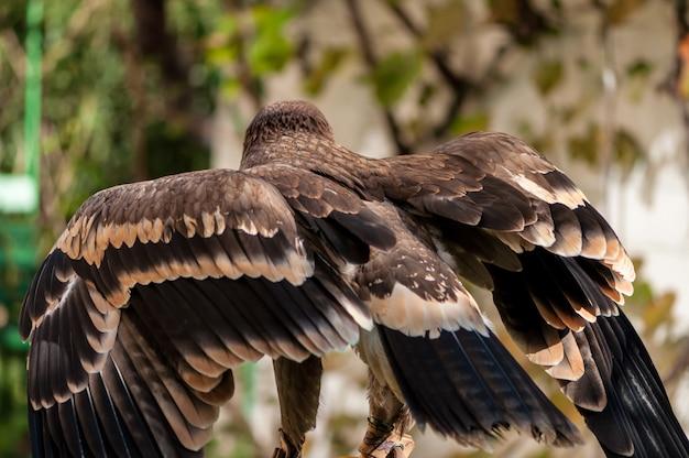 Close-up of a steppe eagle (aquila nipalensis). bird of prey portrait.