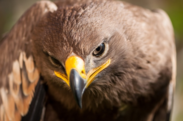 Close-up of a steppe eagle (aquila nipalensis). bird of prey portrait.