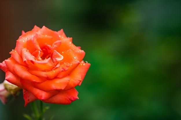 Close-up stock photo of a beautiful blooming red rose growing in the garden