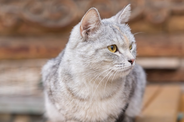 Close up of stray gray cat on wooden bench outdoors