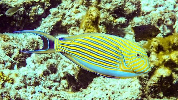 Close up striped surgeonfish in maldives.
