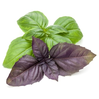 Close up studio shot of fresh green and red basil herb leaves mix isolated on white background.