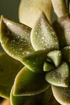水滴のクローズアップ多肉植物